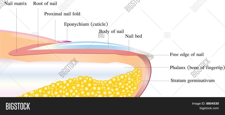 Nail Deep Anatomy Image & Photo (Free Trial) | Bigstock