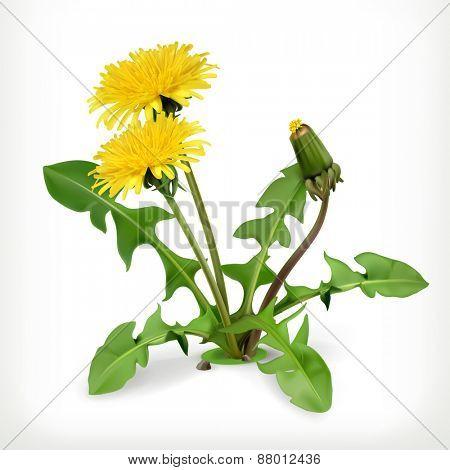 Dandelion flowers, vector icon