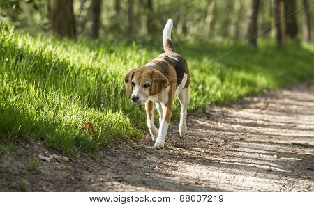 beagle running smile in the grass