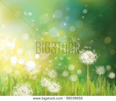 Vector spring  white dandelions.