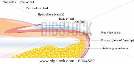 Nail deep anatomy