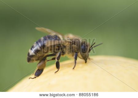 Close-up On Bee
