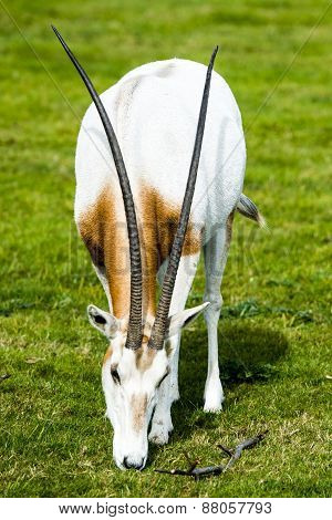 Scimitar-horned Oryx In The Wild