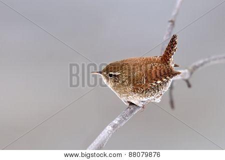 Winter wren in natural habitat ( Troglodytes troglodytes )