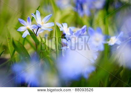 Scilla siberica with very shallow depth of field