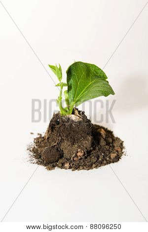 The Plant Grows From The Ground On A White Background