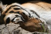 adult tiger is sound asleep. close-up of his head. poster
