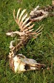 skeleton on green grass meadow at summer poster