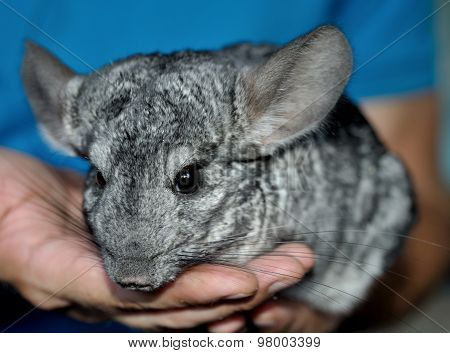 Gray chinchilla on the hands