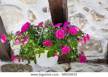 Pink Flowering Petunia In Pot