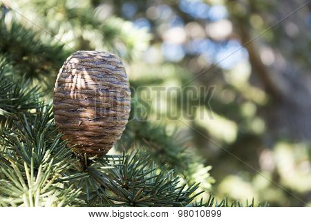 Upright Growing Cone On The Branch Of A Cedar Tree
