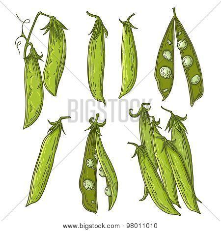 Pea illustration
