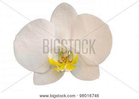 White orchid phalaenopsis isolated