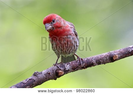 Summer Male house Finch