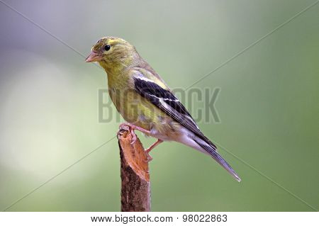 Summer Female Goldfinch