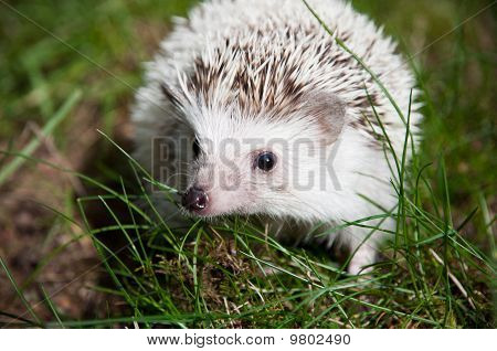 Watching Hedgehog