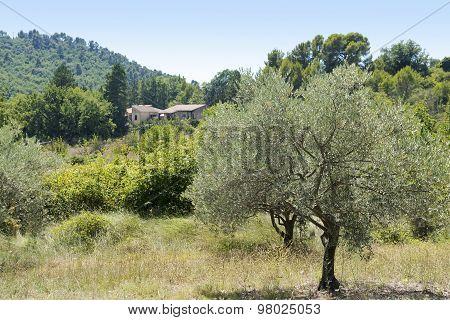 Rural Landscape In Provence With Olive Treeand Cottage, South Of France