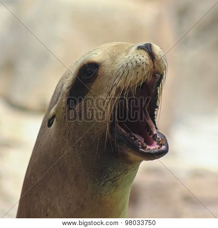 A Portrait Of A California Sea Lion