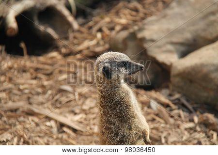 Meerkat Animal.
