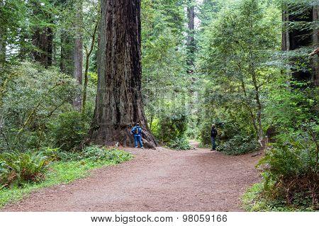 Redwood Trees, California