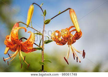Tiger Lilies In Garden. Lilium Lancifolium (syn. L. Tigrinum) Is One Of Several Species Of Orange Li