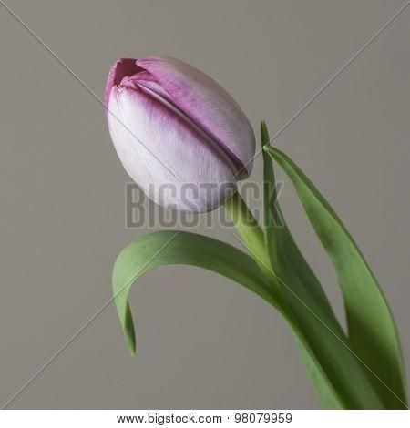 A close up a single tulip