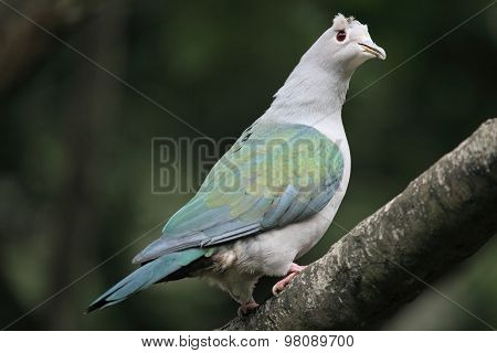 pretty Green Imperial Pigeon