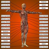 Concept or conceptual 3D male or human anatomy, a man with muscles and text on orange gradient background  poster