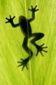 a frog stay on leaf in backlight poster