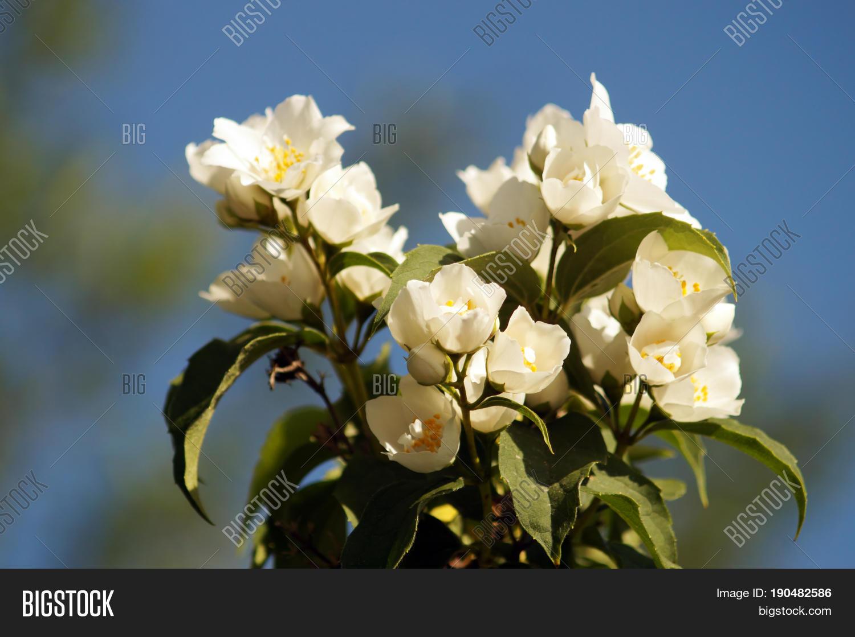 Bush branch white flowers jasmine image photo bigstock bush branch with white flowers of jasmine white aroma flowers of jasmine on blue sky izmirmasajfo Choice Image