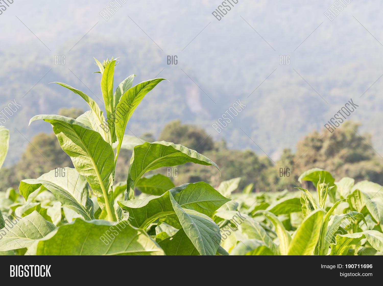 Nicotiana Tabacum Image & Photo (Free Trial) | Bigstock