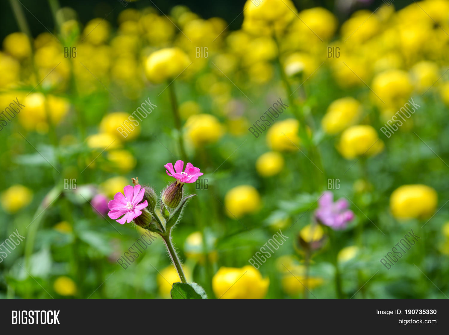 Pink Alpine Flowers Image Photo Free Trial Bigstock