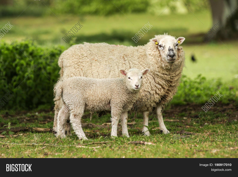 Mother Ewe Sheep Lamb Image & Photo (Free Trial) | Bigstock