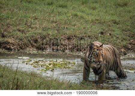 Bengal Tiger Turning Head In Shallow Stream