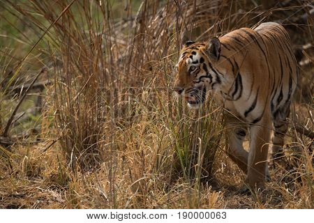 Bengal Tiger Turning Left Out Of Undergrowth