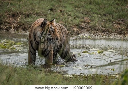 Bengal Tiger Turns Head In Shallow Stream