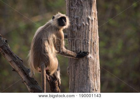 Hanuman Langur Sitting In Tree Looking Round