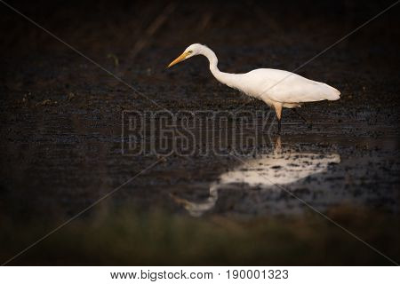Intermediate Egret Looks For Food In Shallows