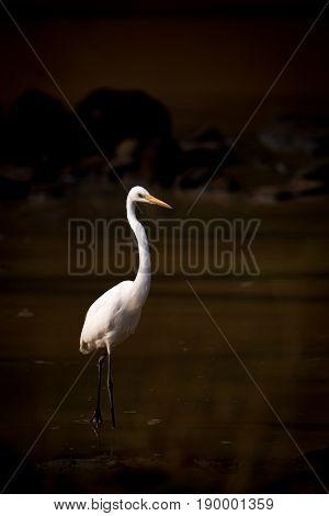 Intermediate Egret Wading Through Lake In Shadows
