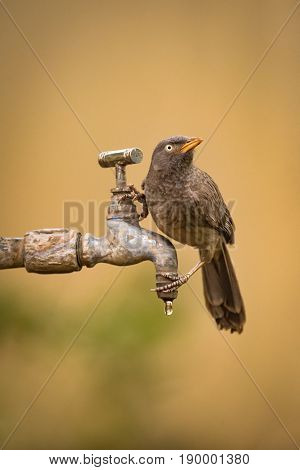 Jungle Babbler Looking Up From Dripping Tap
