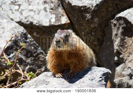 Close up of a yellow-bellied marmot perched among rocks in the sunshine. Photographed in Yellowstone National Park.