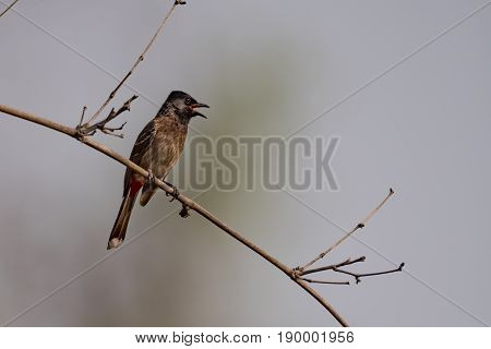 Red-vented Bulbul Perched On Branch In Sunshine