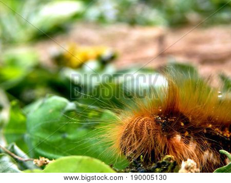 Close up of the head of a Drinker Moth Caterpillar (Euthrix potatoria)