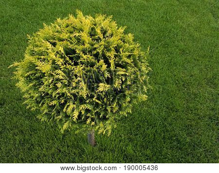 Landscape design. Beautifully trimmed thuja on a background of juicy green grass. The branches of the coniferous tree are tonsured in the form of a ball
