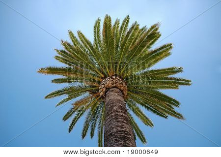 Palm Crown