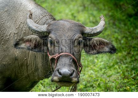 Face of Brown young buffalo on green background
