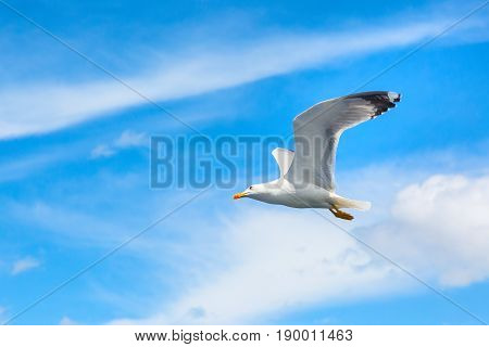 White seagull flying in the clean blue sky with wings spreaded. Freedom concept. Place for text