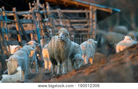 sheep and lambs grazing in springtime .