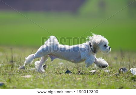 cute small bichon running in the park notice shallow depth of field