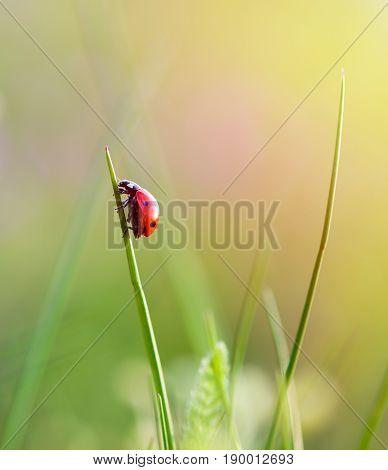close up of a ladybug on grass